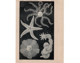 1898 ANTIQUE STARFISH PRINT original antique sea life ocean lithograph- rare ernst haeckel sea star