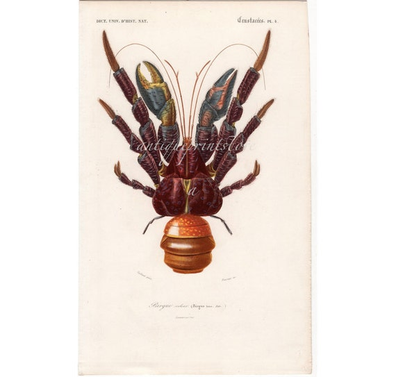 1849 COCONUT CRAB hermit crab original antique sea life ocean crustacean marine animal print - Birgus latro