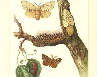 1956 Lymantriinae, Tussock Moths, Gypsy Moth - Lymantria dispar Vintage Offset Lithograph