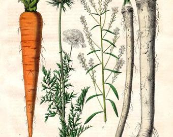 Carrot Print 1852  Antique Botanical Print Food Print Kitchen Decor Hand Color Lithograph