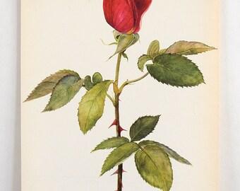 Vintage Botanical Flower Print - Bookplate Plant  Illustration - Red Rose Bud