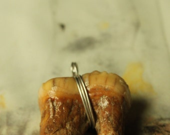 Awesome Pagan Artifact Large Cave Bear Molar Tooth....Super Ancient Pleistocene Bear Teeth  from Romania - CBM-#2