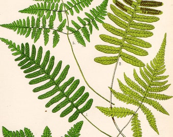 Antique FERN Print 1908 Heath Botanical Chromolithograph COMMON POLYPODY Etc