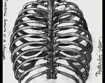 human ribs anatomical drawing