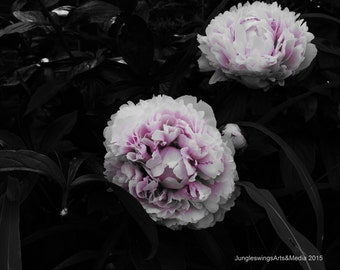 Rose Pivoine, Peony,Photography, Flower, Pink, Nature, Fine Art Photography, Floral