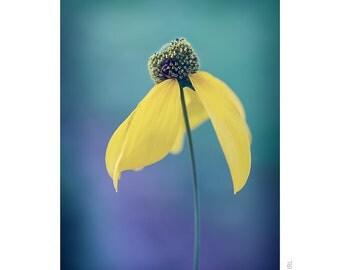 Nature Photography PRINT, Portrait of Rudbeckia - 2, Wall Art