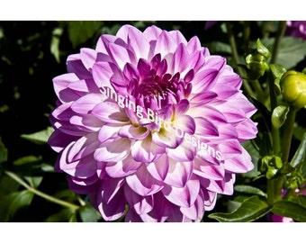 Lavender Dahlia Photograph