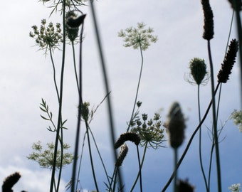 Summer Flowers in Michigan, Queen Anne's Lace, Wildflowers