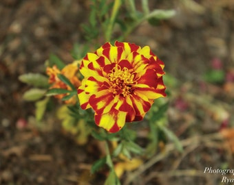 Tiger Stripes Flower