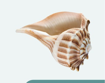 """Large Conch Shell Wall Decal - Design 4 - 12"""" x 9.5"""""""