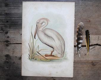 vintage bird book plate, bird print, lithograph, pelican