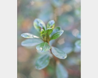 Azalea Leaves: fine art botanical photograph print of green plant with dreamy, sparkling bokeh in aqua, mauve, blue, white