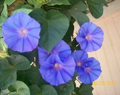 Blue Dawn Morning Glory, 3 rooted plants,beautiful vines great for fences, etc