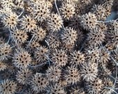 200 Sweet Gum Balls for Fall & Holiday Craft Projects