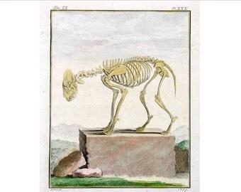 1777 ANIMAL SKELETON engraving original antique anatomy hand colored print