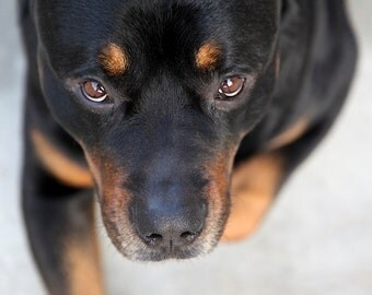 Art for a cause - Rottweiler photography print