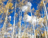Gold Aspens + Blue Sky, Crested Butte, Colorado (photograph, various sizes)
