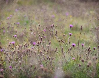 Irish, thistles, wild flowers, hot pink, flowers, weeds,green, Ireland, road side, driving, art photography