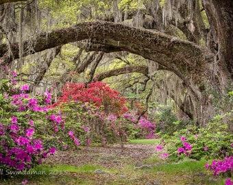 Charleston South Carolina - Spanish Moss Live Oaks and Azaleas - Magnolia Plantation