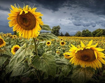 Sunflowers Blooming in a Field near Rockford Michigan No.257 A Fine Art Yellow Flower Nature Photograph
