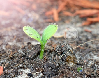 Baby Watermelon Sprout - High Res Print - Many Sizes Available - Prints or Digital - Free Shipping