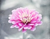 "Pink Grey Flower Photography - floral gray print, pink nursery decor, little girls room wall art, pastel nature photo picture, ""Pink Zinnia"""