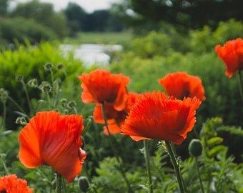 Poppy Photograph, Red Flower Photography,  Floral Wall Decor, Home Decor, Large wall art, Flower photography. Flower Print, Floral photo