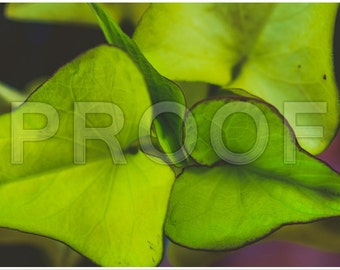 Green Ivy Download only