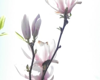Photography, Canvas on wooden frame, blossom of a magnolia in the sunlight, mat, signed