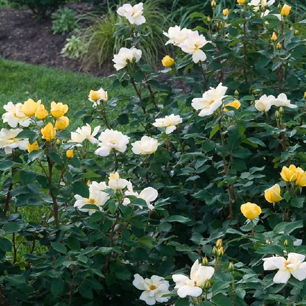 Rosas de bajo mantenimiento - Tn Nursery