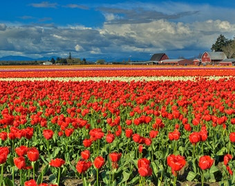 Red Tulip Field (Art Prints available in multiple sizes)