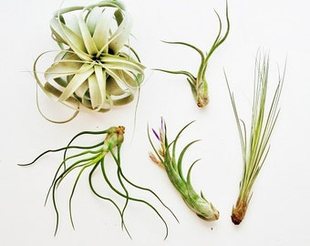 5 Large Air Plants - The Giant Collection - Set of 5 LARGE Plants - Fast FREE Shipping - 30 Day Guarantee - Air Plants for Sale
