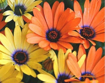 African Daisy-Mixed Colors-  100  seeds