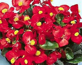 Begonia- Red Wax- 50 seeds