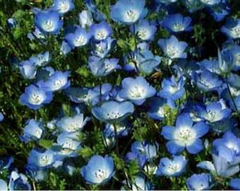 Baby Blue Eyes- 200 Seeds