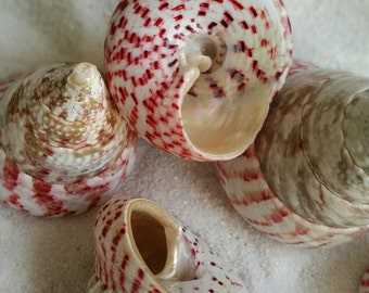 Red Troca Shell  Natural shell  Seashell Red seashell