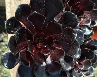 Medium Succulent Plant Black Rose Zwartkop.  Deep purple coloring of this plant is almost black.