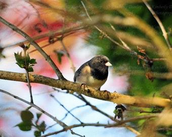 Dark-eyed Oregon Junco Photograph {Songbird Print, Nature Photo, Wildlife Photography, Bird Picture, Spring Home Decor, Large Art Artwork}