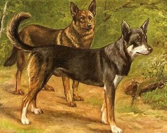 1907 European Shepherds Dog Postcard