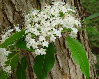 Black Haw Tincture (Viburnum Prunifolium)