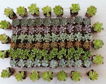 150-- 2 inch Succulents Wedding Special;  Make Perfect Wedding and Event Favors, Shower and Party Favors  .