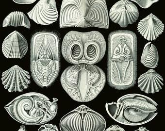 Ernst Haeckel Botanical Print - Nature Art Shell Biology