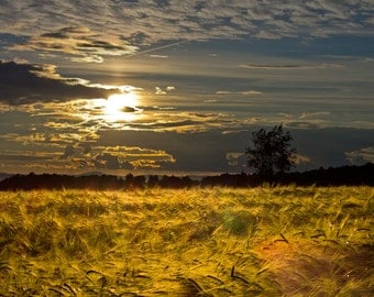 Late afternoon sun on wheat fields to decorate your home.