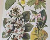 Antique 19th Century Italian Botanical Coloured Book Plate  Lemon  Ideal For Framing  XXXIII