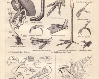 Birds anatomy original 1895 natural history print - Body parts, wall decor - 120 years old German antique engraving illustration (A787)