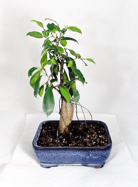 ginseng ficus bonsai in a vibrant blue colored by. Black Bedroom Furniture Sets. Home Design Ideas