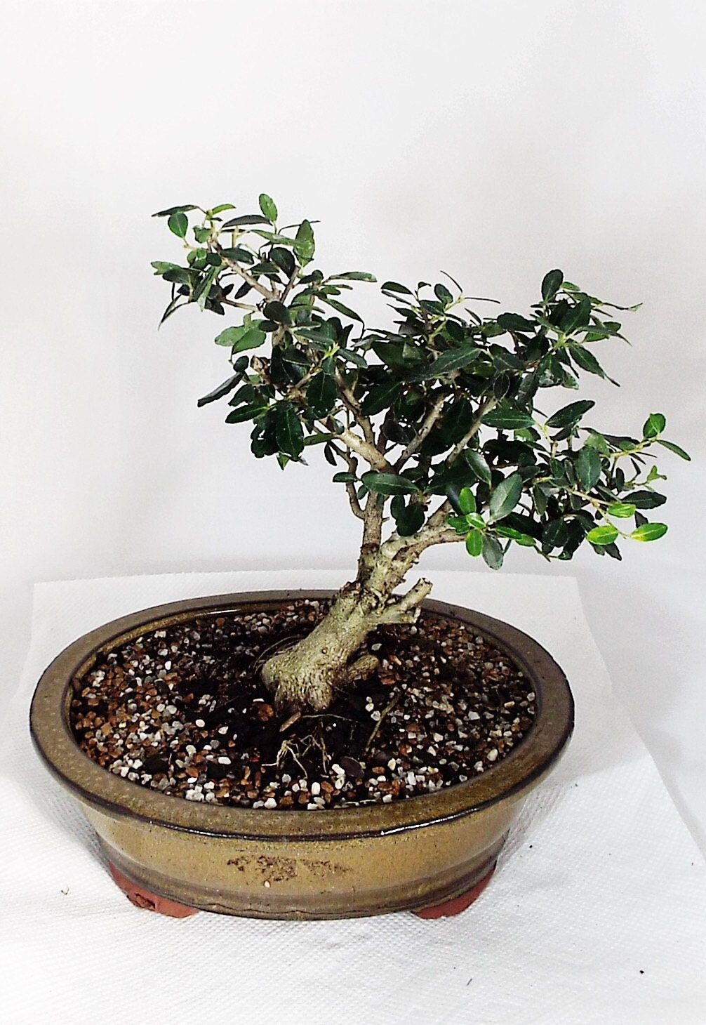 Flowering yaupon holly bonsai the yaupon holly can thrive in for Holly tree bonsai