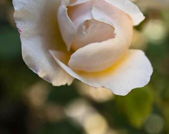 Paris Fine Art Print, Rodin's Garden Rose, Musée Rodin, Nature Photography, Paris Flower, Paris Garden, Paris Photography, Peach Rose Photo