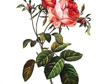Redoute Rose Print - Rosa Centifolia foliacea - 1978 Vintage Flowers Book Print  - 11 x 9