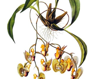 Flower Print - Orchids - Coryanthes speciosa - 1979 Vintage Book Page - Large Print For Framing - 15 x 12